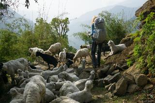 Annapurna Goats