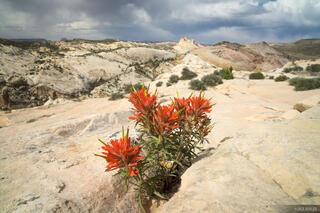Utah,Yellow Rock, Cockscomb, paintbrush, wildflowers