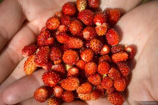 Montenegro,Prokletije,strawberries