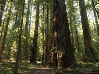 California, Humboldt Redwoods State Park, Rockefeller Grove, redwoods