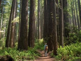 California, Prairie Creek Redwoods State Park, redwoods, hiking
