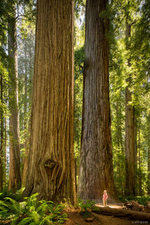 California, Jedidiah Smith Redwoods State Park, Stout Grove, redwoods