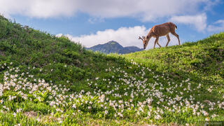 Olympic Peninsula, Sol Duc, Washington, deer, wildflowers, Olympic National Park