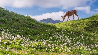 Deer and Lilies