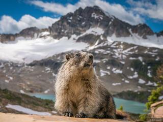 Marmot King