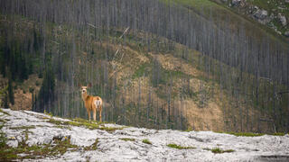 Deer on Limestone