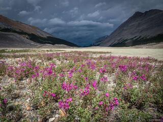 Alberta, Canada, Jasper National Park, Sunwapta Lake, wildflowers, Columbia Icefield