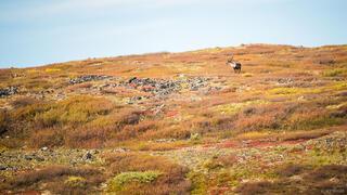 Canada, Tombstone Territorial Park, Yukon, caribou