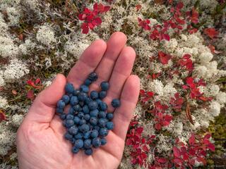 Canada, Tombstone Territorial Park, Yukon, blueberries, Tombstone Range