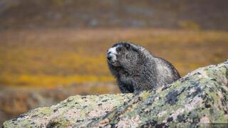 Canada, Tombstone Territorial Park, Yukon, marmot, Tombstone Range