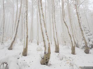Snowy Creeping Aspens