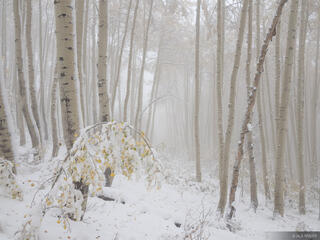 Snowy Foggy Aspens