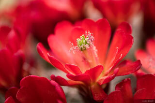 Prickly Pear Bloom