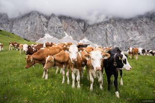 Austria, Karwendel, cows, Alps