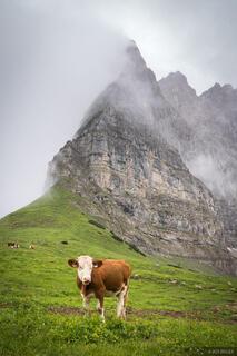 Hohljoch Cow