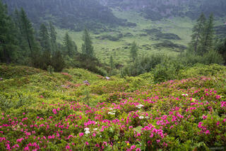 Berchtesgaden, Europe, Germany, wildflowers, alpenrose