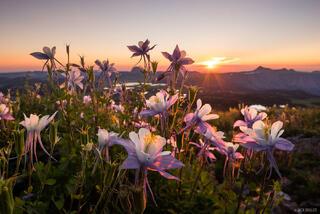 Colorado, Flat Tops, columbine, wildflowers