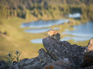 Colorado, Flat Tops, Trappers Peak, pika