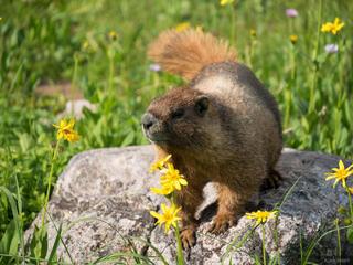 Colorado, Gore Range, marmot, Eagles Nest Wilderness