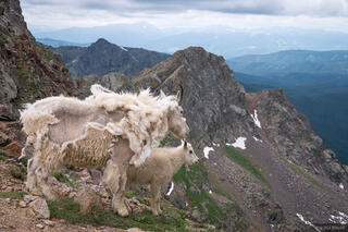 Colorado, Gore Range, mountain goat, Eagles Nest Wilderness, Kneeknocker Pass, Vail