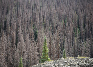 Cataract Gulch, Colorado, San Juan Mountains, beetle kill, pine beetle, forest