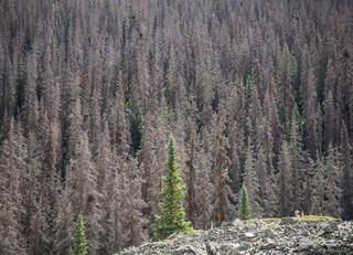 Cataract Gulch, Colorado, San Juan Mountains, beetle kill, pine beetle, forest