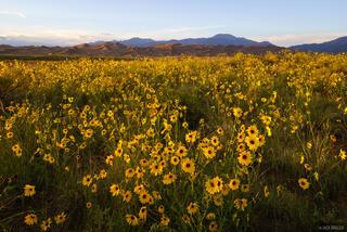 San Luis Sunflowers