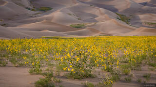 Colorado, Great Sand Dunes, wildflowers, sunflowers