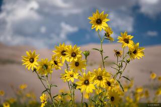 Dunes Sunflowers Closeup