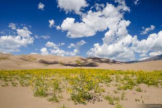 Dunes Sunflowers