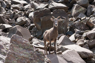 Bighorn in the Sangres