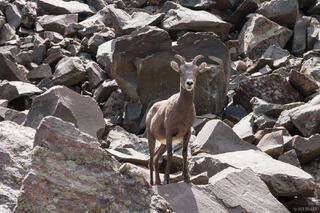 Colorado, Sangre de Cristos, bighorn sheep, Sangre de Cristo Wilderness