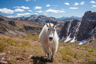 Gore Goat #1