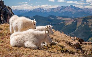 Colorado, Gore Range, Holy Cross Wilderness, Mount of the Holy Cross, Sawatch Range, mountain goat, Eagles Nest Wilderness