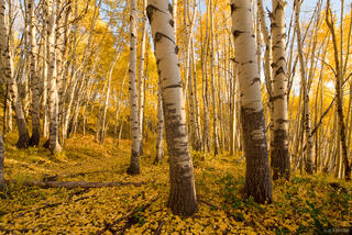 Colorado, Elk Mountains, Kebler Pass, aspens, October