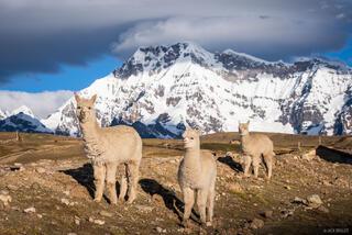 Ausangate, Cordillera Vilcanota, Peru, South America, Upis, alpaca
