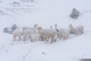 Alpacas in Blizzard