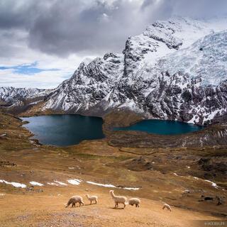 Ausangate, Cordillera Vilcanota, Lago Jatun Pucacocha, Peru, South America, alpaca