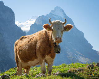 Bernese Alps, Eiger, Switzerland, cows, Bernese Oberland