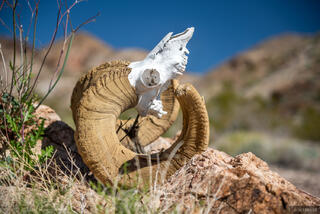 Bighorn, Nevada, Pinto Valley Wilderness, Mojave Desert, Lake Mead National Recreation Area
