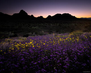 California, Turtle Mountains, wildflowers, Mojave Desert
