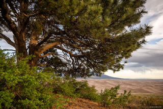 Colorado, Great Sand Dunes, ponderosa pine