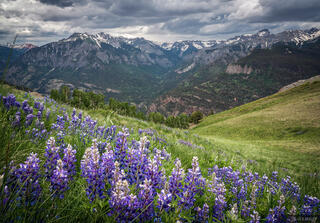 Bridge of Heaven, lupine, wildflowers, Ouray, Colorado, San Juan Mountains