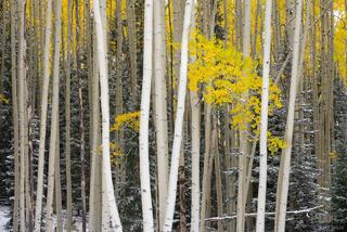 Colorado, San Juan Mountains, aspens, autumn