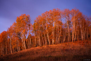 Twilight Aspens