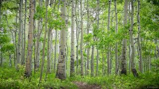 Cimarrons, Colorado, San Juan Mountains, aspens
