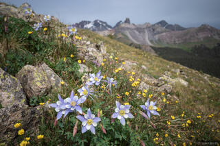 Black Face Mountain, Colorado, Lizard Head Peak, Lizard Head Wilderness, San Juan Mountains, San Miguel Range, columbine, wildflowers