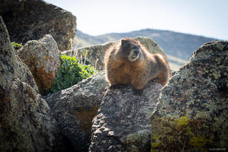 Collegiate Peaks Wilderness, Colorado, Sawatch Range, marmot