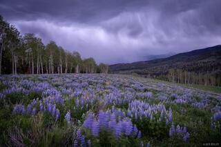 Lupine Cloudburst