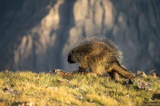 Alpine Porcupine